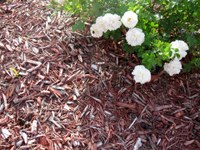 Mulch roses and other plants to conserve soil moisture. (NDSU photo)