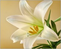 The Easter lily is a symbol of beauty, hope and life. (Photo courtesy of Pixabay)