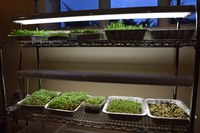 Microgreens typically are grown in shallow containers with approximately 1 to 2 inches of new potting soil. (NDSU photo)