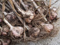 Now is the time to plant garlic. (Photo courtesy of F.D. Richards, www.flickr.com/50697352@N00/14800882264)