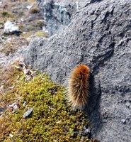 The Arctic woolly bear caterpillar can survive temperatures of 70 degrees below zero. (Photo courtesy of Mike Beauregard, Nunavut, Canada, https://commons.wikimedia.org/wiki/File:Gynaephora_groenlandica.jpg)