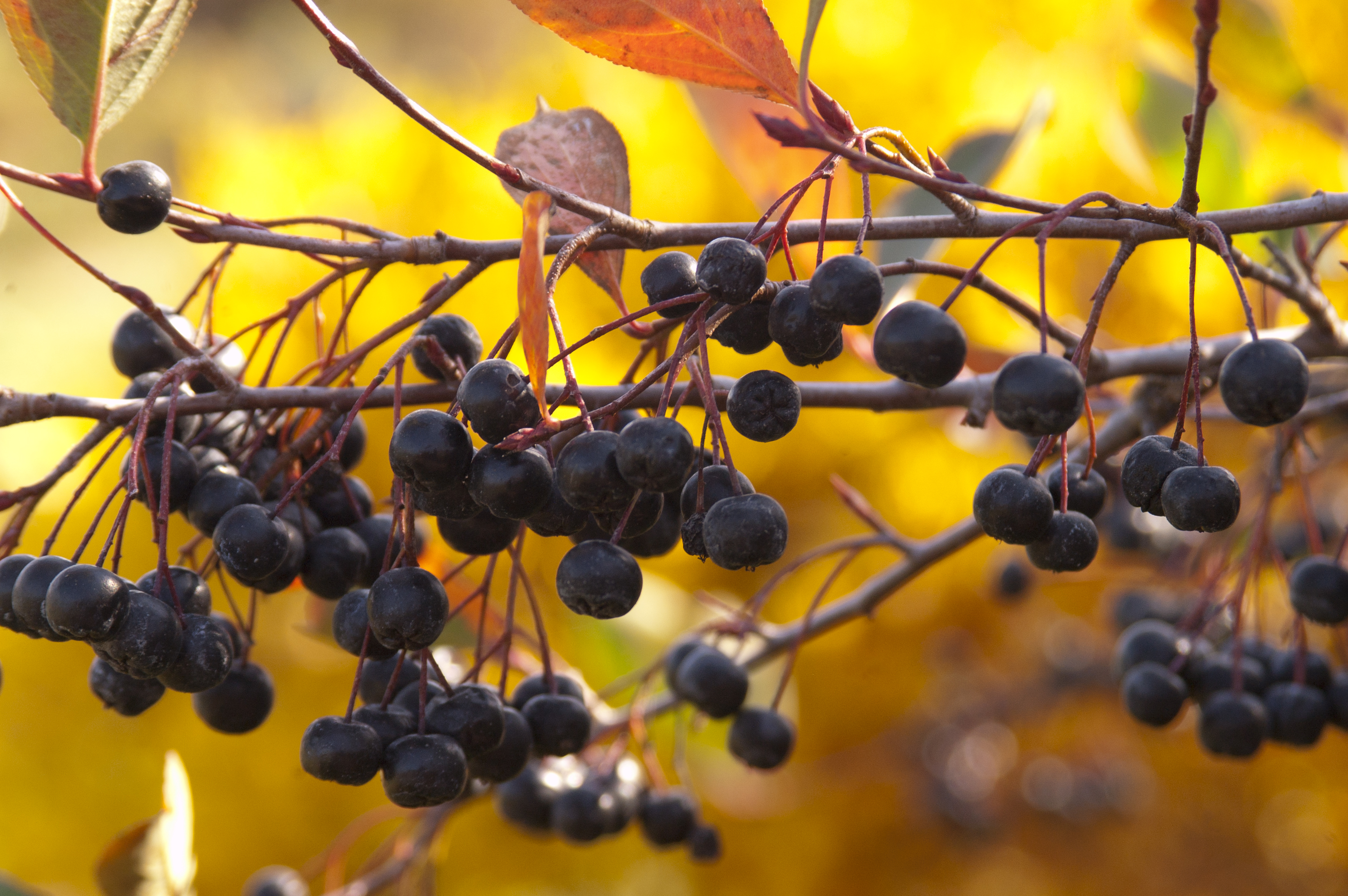 Aronia is North Dakota's leading fruit crop. (Photo courtesy of Bailey Nurseries Inc.)