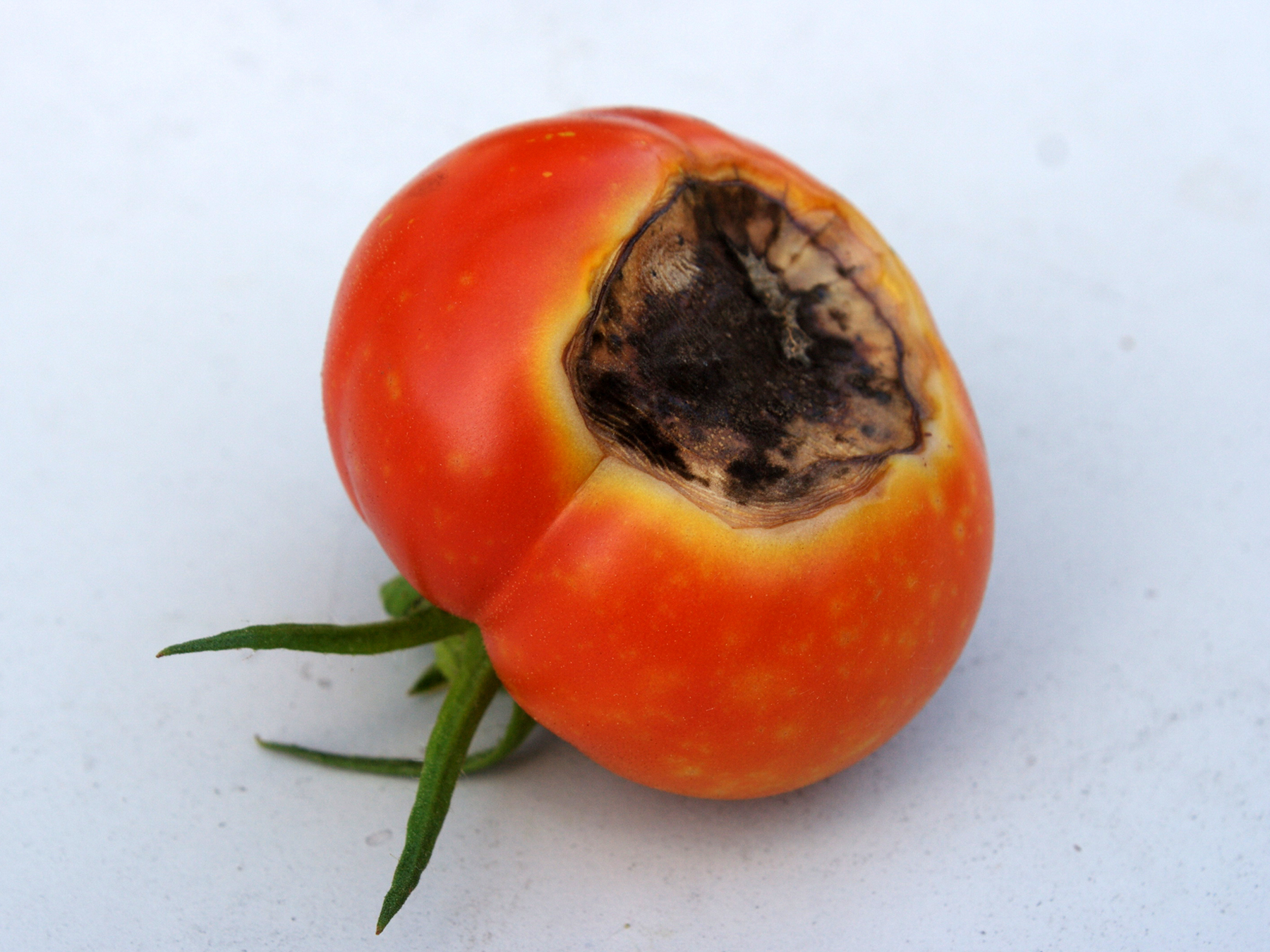 A lack of calcium in fruits will cause their bottoms to rot. (Photo courtesy of Mark, https://www.flickr.com/photos/eggrole/6011378943)