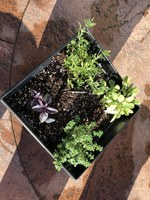 A newly planted pot of herbs contains 'Red Rubin' basil, lavender, golden sage and lemon thyme. (NDSU photo)