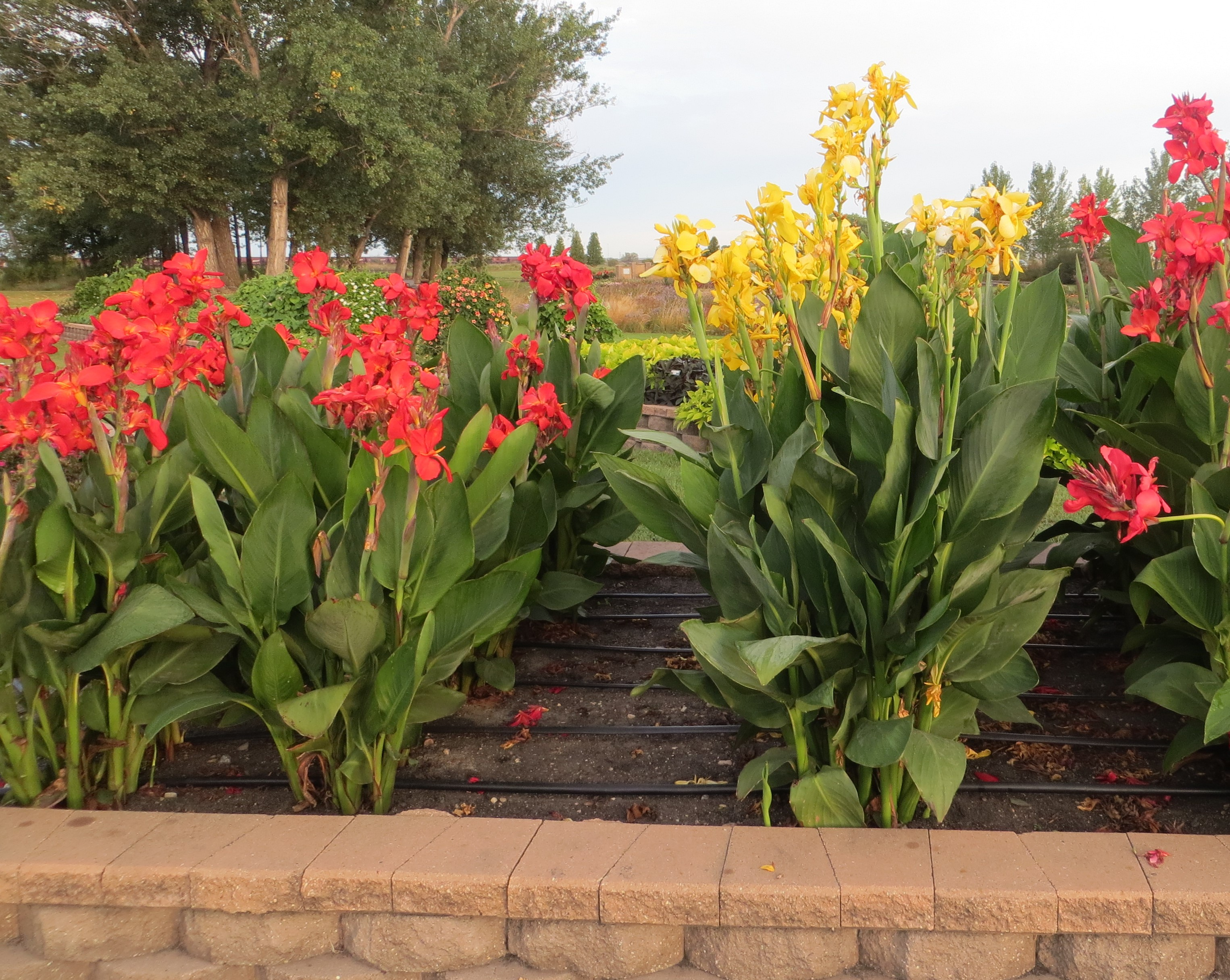 To preserve plants for next year and to save money, consider lifting and overwintering your expensive tender bulbs. (NDSU photo)