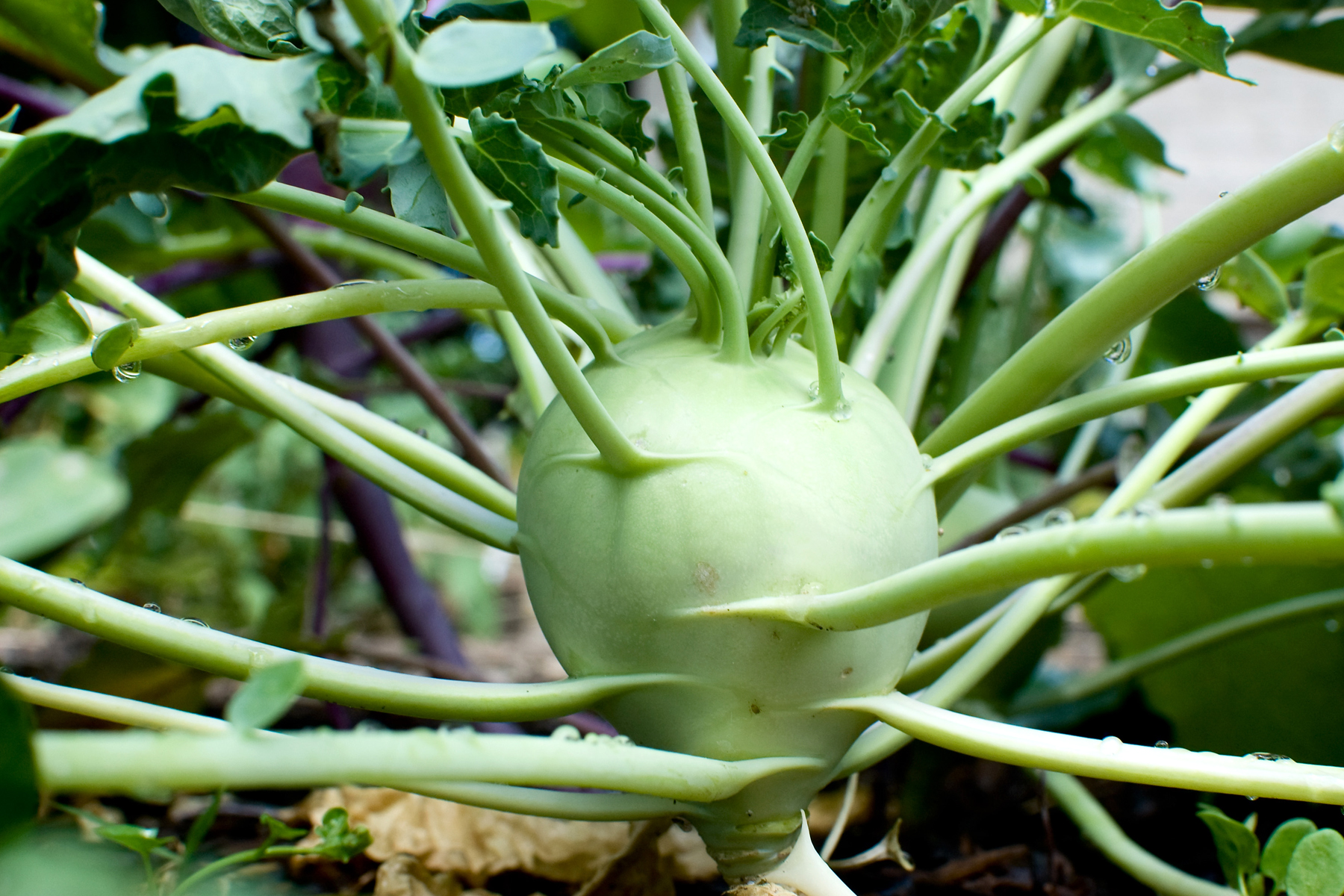 Kohlrabi is an odd-looking but tasty vegetable. (Photo courtesy of Clint Gardner, https://www.flickr.com/photos/signifying/4847268280)