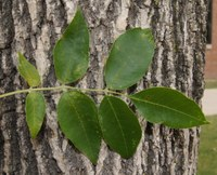 Green ash trees make up 60% of North Dakota's native forests. (NDSU photo)