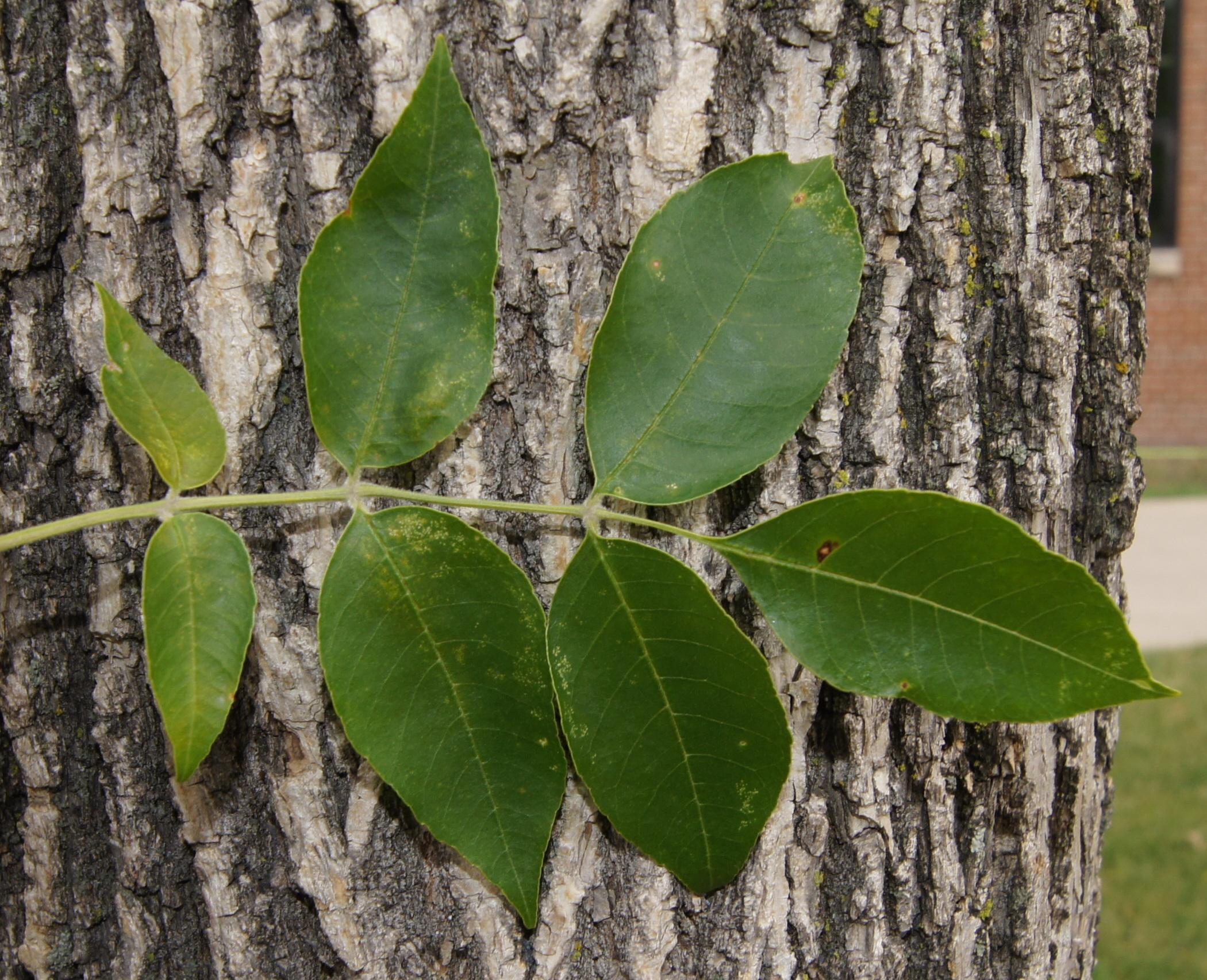 Green ash trees make up 60% of North Dakota's native forests. (NDSU photo)