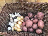 Onions, garlic and potatoes should be stored in cool and dry conditions. (NDSU photo)