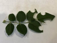 Leaf cutter bee damage resembles a hole punch. (NDSU photo)