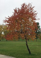 Pin cherry, a tree that's native to North Dakota, showing off its fall colors in a Grand Forks park. (NDSU photo)