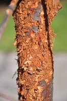 The bark of a young bur oak tree was shredded by woodpeckers searching for insect larvae.  The tree suffered substantial dieback because of this damage. (NDSU photo)