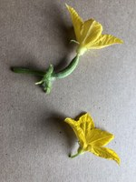 Cucumbers have female and male flowers. (NDSU photo)