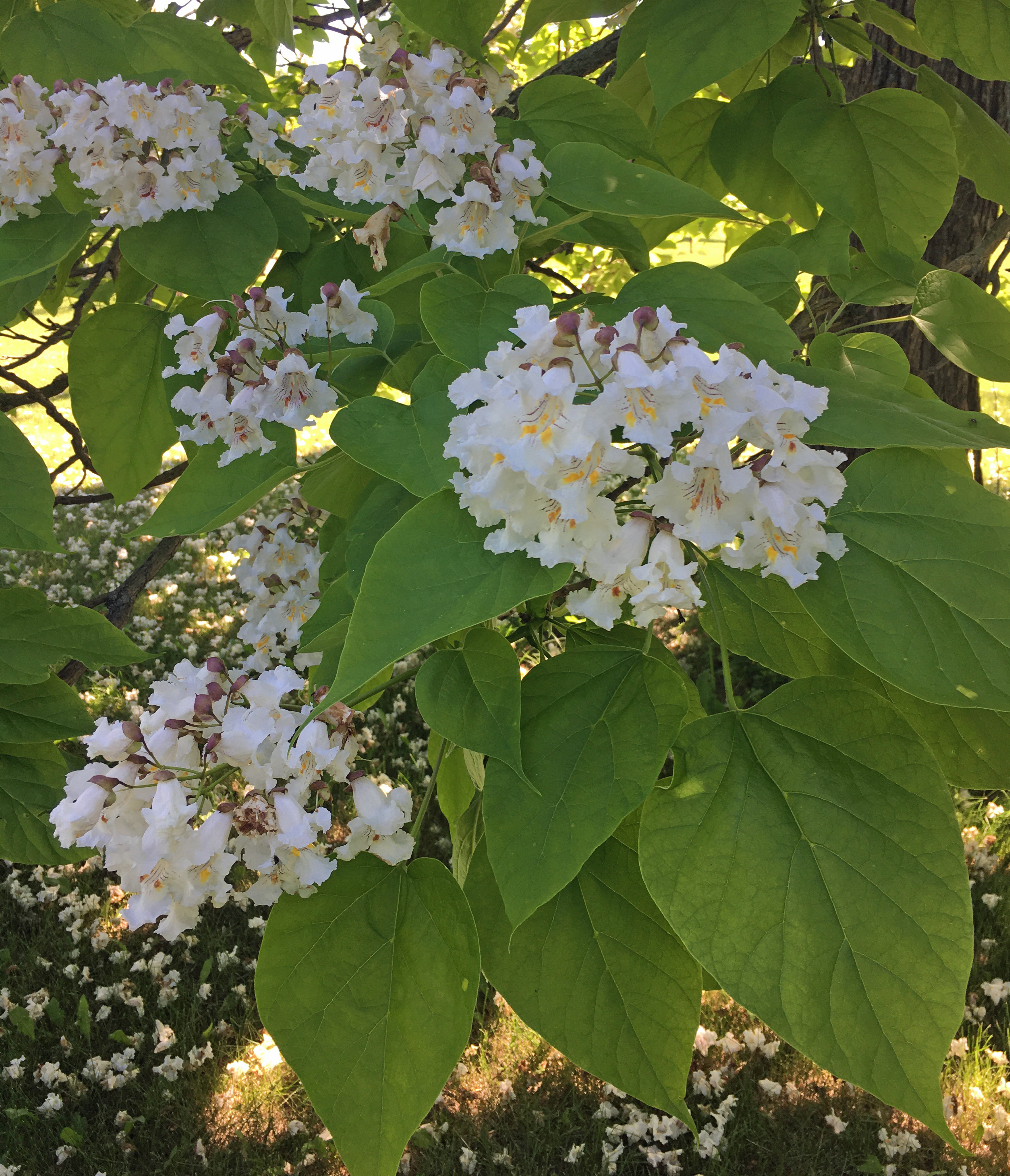 Northern catalpa flower clusters are one of the joys of spring. (NDSU photo)