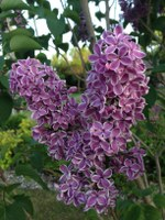 Lilacs are spring-blooming shrubs that produce their flower buds in late summer or early fall in the year preceding the bloom. (NDSU photo)