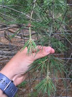 The twigs of this pine tree have gaps of several inches that don't have needles. (NDSU photo)