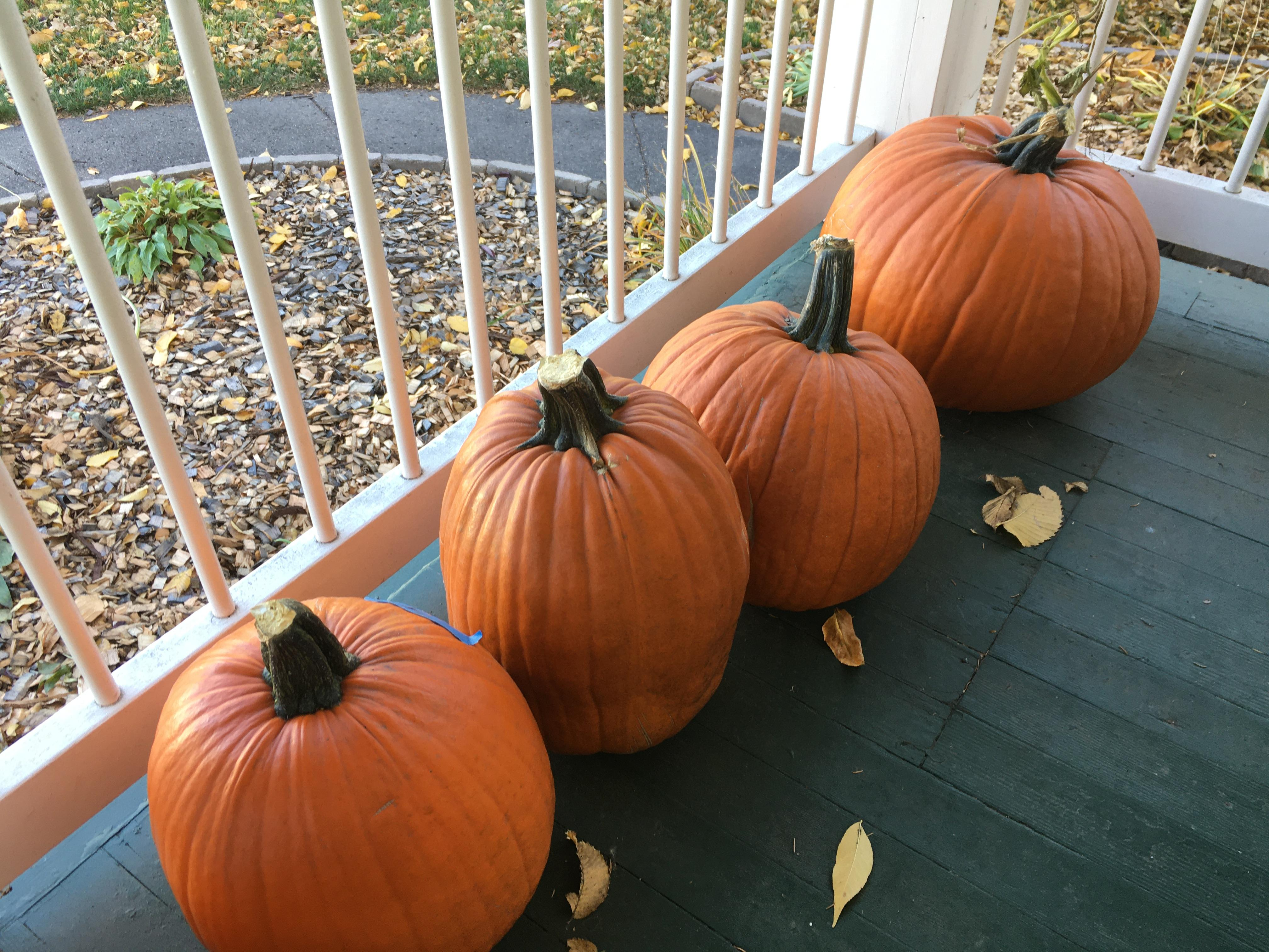 Pumpkins are believed to have originated in Central America. (NDSU photo)