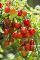 When selecting tomatoes to grow, look for varieties that ripen early, resist diseases and produce good yields. (Photo courtesy of  All-America Selections)