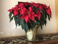 While poinsettias are not highly toxic, consuming leaves can cause mild digestive upset in children and pets. (NDSU photo)