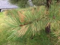 This ponderosa pine is suffering from winter injury. (NDSU photo)