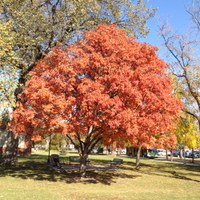 An Ohio buckeye provides beautiful fall colors and shading in a sitting area on the NDSU campus. (NDSU photo)