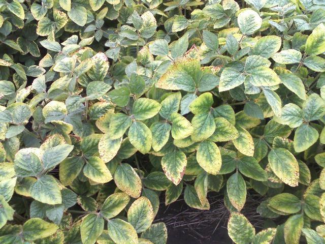Potassium deficiency symptoms in soybeans near Hunter, N.D. (August, 2009)