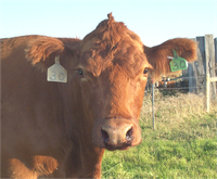 This cow was diagnosed with anthrax.