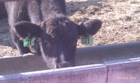 Calves are being backgrounded at the NDSU Carrington Research Extension Center.