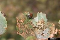 Japanese Beetle Feeding on Linden Tree (Courtesy W. Fountain, UKY, Bugwood.org)