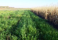 Spring Wheat Cover Crop