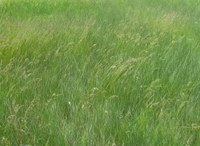 This grass field in central North Dakota is ready to harvest. (NDSU Carrington Research Extension Center photo)