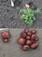 Comparison of effect of glyphosate residues in potato seed on plant and harvested yield (left) and regular potato plant and harvested yield (right).