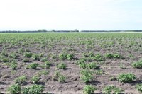 Poor emergence of seed potatoes with glyphosate residues in the seed from the previous year.