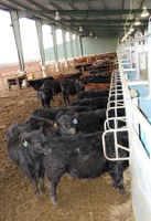 The state-of-the-art feeding system at NDSU's Beef Cattle Research Complex allows researchers to feed different diets to cattle in the same pen at different times of the day and monitor each animal's intake. (NDSU photo)