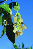Eating the seeds from the boxelder tree can be fatal to horses. (NDSU photo)