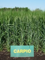 Carpio has very good protein content and test weight.