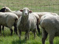 Columbia sheep (ewes in foreground) are a dual-purpose breed (wool and growth). Hampshires (ewes in background) are known for carcass merit and fast growth rate. (NDSU photo)