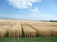 Winter wheat is a good option when considering what to plant. (NDSU photo)