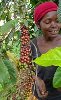 A Uganda coffee grower inspects beans that are about ready to harvest. (NDSU photo)