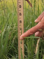 This grazing monitoring stick, developed by the NDSU Extension Service, can help producers monitor their pastures and rangelands. (NDSU photo)