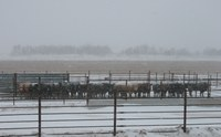 Cattle use a guardrail windbreak during a North Dakota blizzard. (NDSU photo)