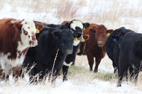 NDSU scientists study the effects of cold weather on beef cows' feed intake. (NDSU photo)
