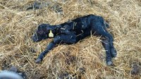 Scours can affect calves at any age, but those 3 to 21 days old are especially susceptible. (NDSU photo)