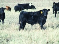Making beef production profitable will be the focus of the first World Cattlemen's Cow Efficiency Congress, which NDSU's Dickinson Research Extension Center is hosting Sept. 1-3. (Photo courtesy of James Odermann, Belfield, N.D.)