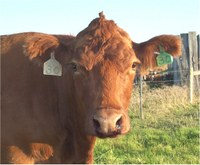 This cow was infected with anthrax. (Photo courtesy of the North Dakota Department of Agriculture)