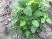 Soybean plant with an IDC rating of 1. (NDSU Photo)