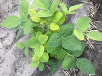 Soybean plant with an IDC rating of 2. (NDSU Photo)