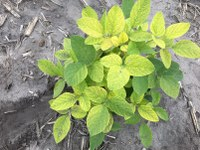 Soybean plant with an IDC rating of 3. (NDSU Photo)