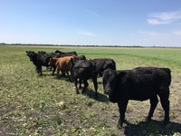 Cattle are grazing cover crops. (NDSU photo)