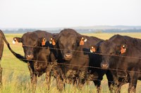 The Buying Bulls by the Numbers workshops will help producers use data in breed sire summaries to buy the right bull for their herd. (NDSU photo)